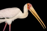 A Yellow-Billed Stork  Mycteria Ibis  at the Living Desert in Palm Desert  California