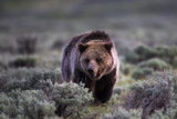 Portrait of a Grizzly Bear  Ursus Arctos  Walking Through Brush