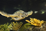 A Loggerhead Sea Turtle Swims over Coral Structures in the Giant Ocean Tank  New England Aquarium