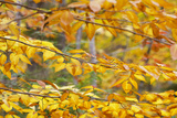Yellow Autumn Leaves on a Silver Birch