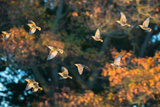 A Flock of Common Starlings  Sturnus Vulgaris  in Sunset Flight with Autumn Colored Trees