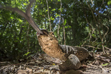 A Monitor Lizard  Varanus Palawanensis  Flicks its Forked Tongue Towards the Camera