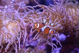 A Clown Fish Swims Among Anemones