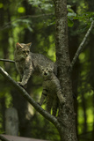 A Captive Wildcat  Felis Sylvestris  and Her Kitten  Climbing a Tree in an Enclosure