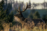 An Alert Bull Elk  with Velvet Covered Antlers  Stands in the Sunlight in Tall Grass