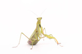 Close Up Portrait of a Female European or Praying Mantis  Mantis Religiosa