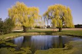 Weeping Willow Trees Reflecting in a Farm Pond