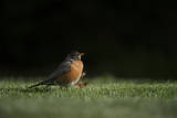 A Robin in Lincoln  Nebraska