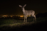 A Remote Camera Captures a Mule Deer in Griffith Park