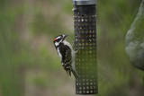 A Downy Woodpecker  Picoides Pubescens  Eats from a Bird Feeder in Lincoln  Nebraska