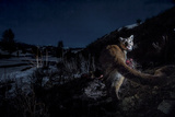 The Flash of a Remote Camera Diverts a Wyoming Cougar from its Kill