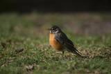 A Robin in Lincoln  Nebraska