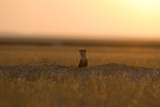 A Black-Footed Ferret  Mustela Nigripes  at the Entrance of its Den at Sunset