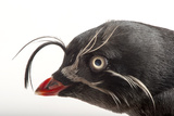 A Whiskered Auklet  Aethia Pygmaea  at the Cincinnati Zoo