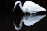 Portrait of a Great Egret  Ardea Alba  Wading in Dark Water