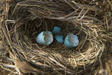 Hatched Robin Eggs in Lincoln  Nebraska
