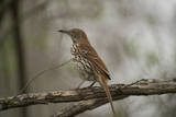 A Brown Thrasher  Toxostoma Rufum  in Lincoln  Nebraska