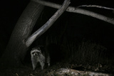 Night Time Portrait of a Raccoon  Procyon Lotor  under a Tree