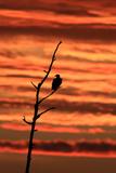 A Bald Eagle  Haliaeetus Leucocephalus  Perched in a Tree at Sunrise