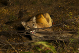A Cougar  Tranquilized by Biologists  to Be Fitted with a Radio Collar