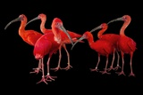 A Flock of Scarlet Ibis  Eudocimus Ruber  at the Caldwell Zoo