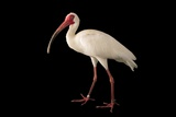 An American White Ibis  Eudocimus Albus  at the Caldwell Zoo