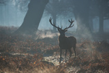 A Red Deer Stag Stands His Ground in a Misty Richmond Park