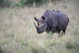 Portrait of a Rhinoceros with Oxpeckers on its Back