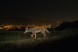 A Remote Camera Captures a Coyote in Griffith Park