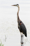 Portrait of a Great Blue Heron  Ardea Herodias  Wading in the Water