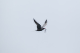 A Caspian Tern  Hydroprogne Caspia  in Flight with a Freshly Caught Fish in its Bill