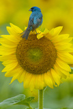 Portrait of an Indigo Bunting  Passerina Cyanea  on a Sunflower