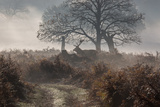 A Red Deer Stag Makes His Way Through a Misty Landscape in Richmond Park