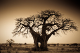 An Elephant-Made Hole in a Large Baobab Tree  Ruaha National Park  Tanzania