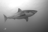Portrait of a Male Great White Shark  Carcharodon Carcharias  Swimming