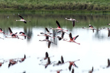 A Flock of Lesser Flamingo in Flight Reflected in a Calm Waterhole