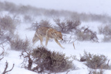 A Coyote Struggles Against the Wind in a Snowstorm Through Sagebrush in the Lamar Valley