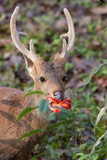 Portrait of an Indian Hog Deer  Hyelaphus Porcinus  Eating a Flower