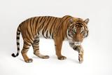 An Endangered Malayan Tiger  Panthera Tigris Jacksoni