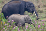 An Asian Elephant  Elephas Maximus  and a Calf Walking Among Wildflowers