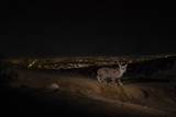 A Remote Camera Captures a Bobcat in Griffith Park