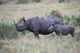 Portrait of a Rhinoceros and Her Calf in a Grassland Oxpeckers are on the Mother's Back