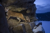 A Female Cougar and Her Kitten Use Rock Outcrops to Provide Shelter and Cover for Hunting