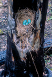 A Robin Nested and Laid Four Eggs Inside a Tree That Had Been Burned by the Fires of 1988