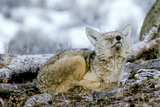 A Coyote  Canis Latrans  Lifts its Sleepy Head to Sniff the Air