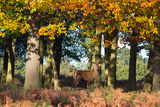 A Red Deer Stag in a Forest with Colorful Fall Foliage