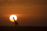Silhouettes of a Giraffe and an Ostrich Walking across Grasslands at Sunset