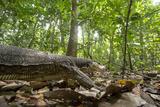 A Monitor Lizard  Varanus Palawanensis  Walking in the Forests of Palawan  the Philippines
