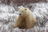 A Polar Bear  Ursus Maritimus