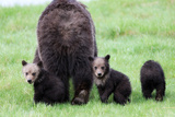 Two Grizzly Cubs  Ursus Arctos  Look Back While their Mother Walks Away